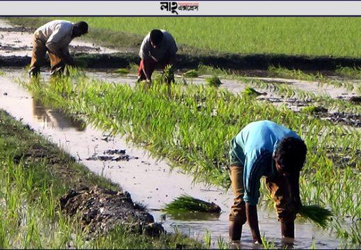 মৌলভীবাজারে কৃষকের চোখে বোরোর বাম্পার ফলনের স্বপ্ন