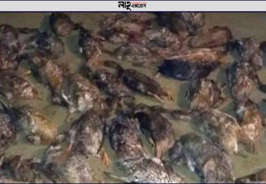 বড়লেখায় পাখি শিকারী চক্রের বিষটোপে মারা গেল খামারীর দেড়শ হাঁস