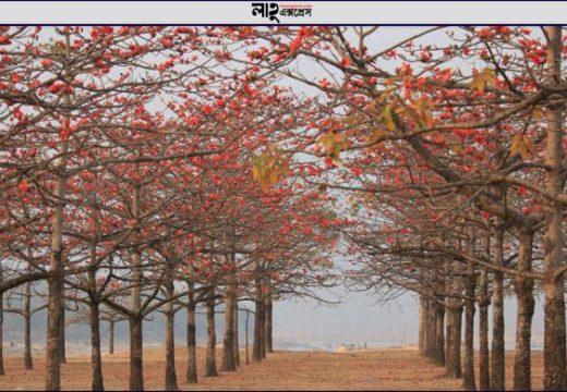 বসন্তের আগমনি লাল রঙে সেজেছে তাহিরপুরের শিমুল বাগান