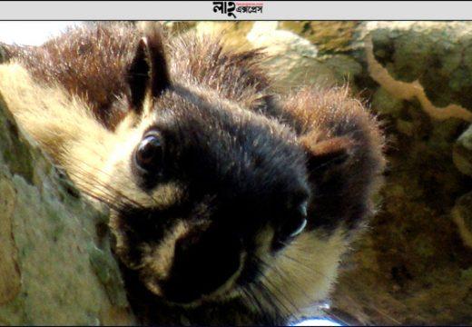 বিশ্বের বড় 'মালয়ান' কাঠবিড়ালি দেখা যাবে হবিগঞ্জের রেমা-কালেঙ্গা বনে