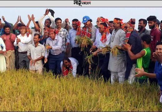 সুনামগঞ্জে কৃষকের সঙ্গে ধান কাটলেন উপমন্ত্রী