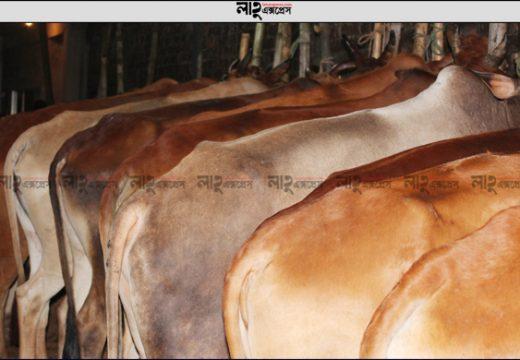 মৌলভীবাজারে চাহিদার চেয়ে ১৮ হাজার কোরবানির পশুর ঘাটতি