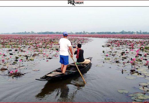 তাহিরপুরে লাল শাপলার 'গালিচা' বিকি বিল পর্যটকদের জন্য উন্মুক্ত