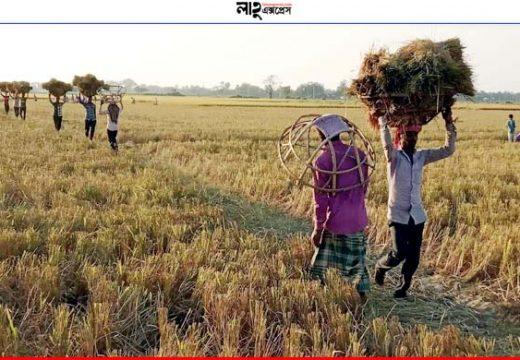 সুনামগঞ্জে ধানের দামে মন ভাঙছে কৃষকের খবর: জাগো নিউজ