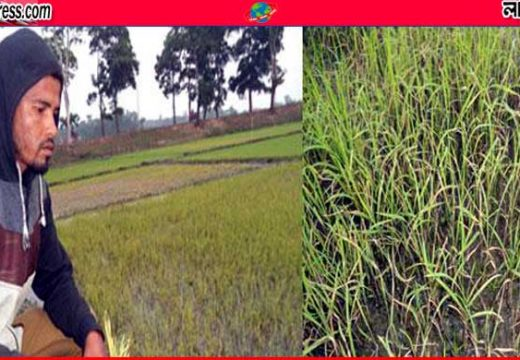 মৌলভীবাজারে বোরোর হালি চারায় পোকার আক্রমণ, হলুদ বর্ণ ধারণ করে মরে যাচ্ছে চারা