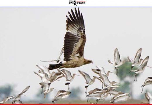 বাইক্কা বিলে এবার কমছে অতিথি পাখির সংখ্যা, বেড়েছে প্রজাতি