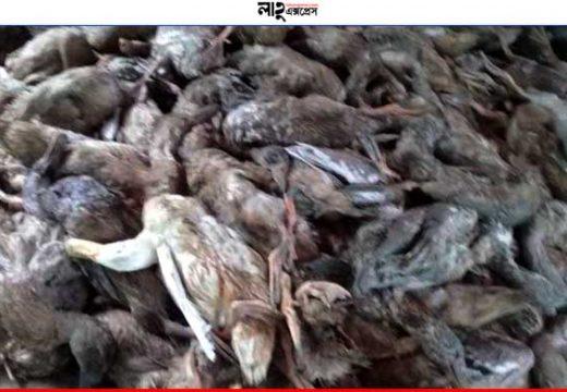 বড়লেখায় পাখি শিকারীদের বিষটোপে শতাধিক হাসের মৃত্যু নিজস্ব প্রতিবেদক