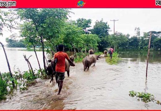 সুনামগঞ্জে ভারী বর্ষণ ও পাহাড়ি ঢলে গবাদি পশু নিয়ে বিপাকে সীমান্ত এলাকার মানুষ